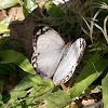 Borboleta marfim (Ivory butterfly)