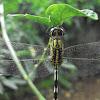 Green Marsh Hawk / slender skimmer