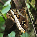 Banded Owl-Butterfly