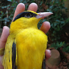Black -naped Oriole
