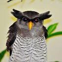 Barred Eagle-Owl  or Malay Eagle Owl