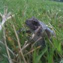 Copes gray tree frog