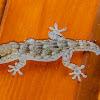 Kanarengecko