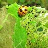 Ladybird Squash eating bug