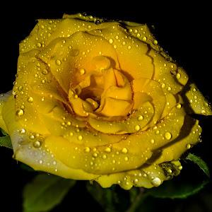 Yellow rose.jpg