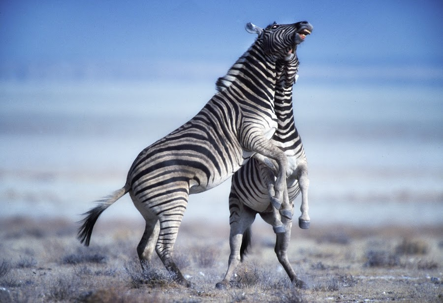 Zebra stallions fighting by Gerald Hinde - Animals Other Mammals ( dominance, stallions, fighting, namibia, zebras )