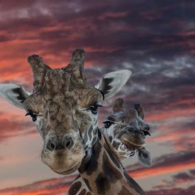 by Bruce Cramer - Animals Other Mammals (  )