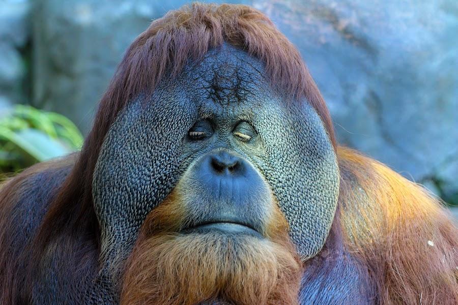 Orangutan by Grady Richardson - Animals Other