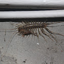 House centipede with prey