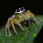 Spider fly symbiotics