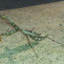 Carolina Praying mantis