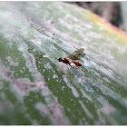 Braconid Wasp.