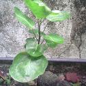 saucer-leaf