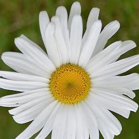 Daisy-0714 by Benjamin Howen III - Flowers Single Flower ( white, daisy, bloom, yellow, flower )