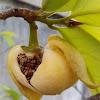 [S] Sirsak, Durian Belanda, Soursop