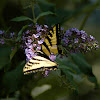 Western Anise Swallowtail Butterfly and Butterfly Flower