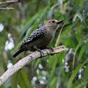 Carpintero Habado - Red-crowned Woodpecker