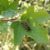 Dainty European Paper Wasp