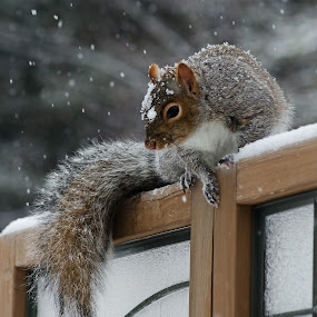 Snowy Squirrel by Jeff Galbraith - Animals Other Mammals ( screen, wooden, winter, cold, furry, snow, privacy, grey, cute, rodent, mammal, squirrel )