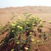Desert Sand plant