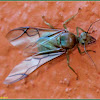 Winged Queen Green Ant