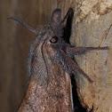 Wattle snout moth