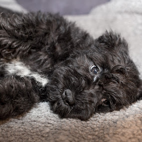 Tilly by Jim Anderson - Animals - Dogs Puppies ( minature, purebreed, pup, cute, dog )