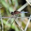 Plateau dragonlet