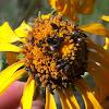 False Flower Beetle