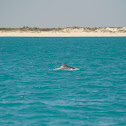 Indo-Pacific Bottlenose Dolphin