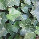 Canarian Ivy