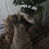 American Toad and Gray Treefrog