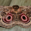 Speckled Emperor Moth