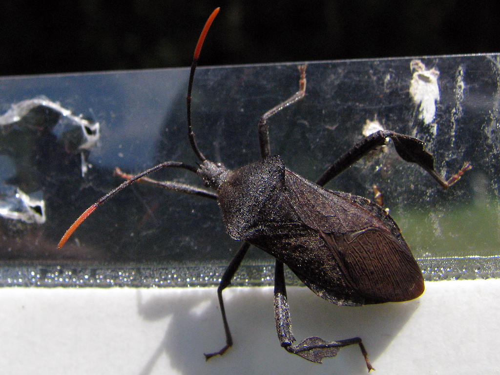 Leaf-footed Plant Bug
