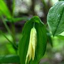 Perfoliate Bellwort