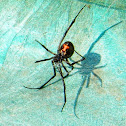 Black widow (Latrodectus)