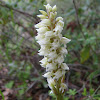 Dense-flowered Orchid