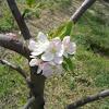 Apple tree (Melo)