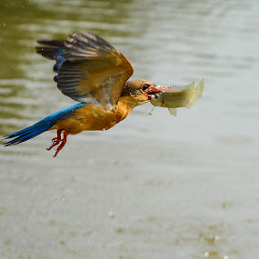 Stork-billed Kingfisher (Pelargopsis capensis) (formerly Halcyon capensis) by BoonHong Chan - Animals Birds ( bird, bird with prey, stork-billed kingfisher (pelargopsis capensis) (formerly halcyon capensis), stork-billed kingfisher, kingfisher, birds )