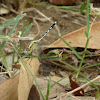 Ground Skimmer - female