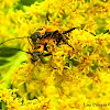 Goldenrod Soldier Beetles