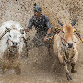Pacu Jawi by Teddy Winanda - News & Events Sports ( minangkabau traditional sport, west sumatera tourism, indonesia tourism, racing cows, pacu jawi )
