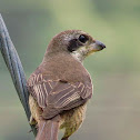Brown shrike - Immature