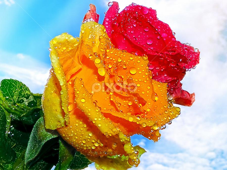 twoo roses by LADOCKi Elvira - Flowers Flower Arangements ( nature, color, 2014, flowers, garden,  )