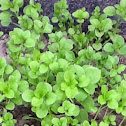 Chickweed, Common Chickweed, Star Chickweed