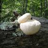 Lion's Mane Mushroom, Bearded Tooth Mushroom