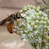 Great Golden Digger Wasp (female)