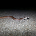 De Kay's Snake (Brown Snake)