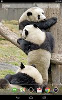 Screenshot of Adorable Pandas Live Wallpaper