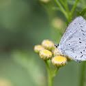 Holly Blue, Modraszek Wieszczek